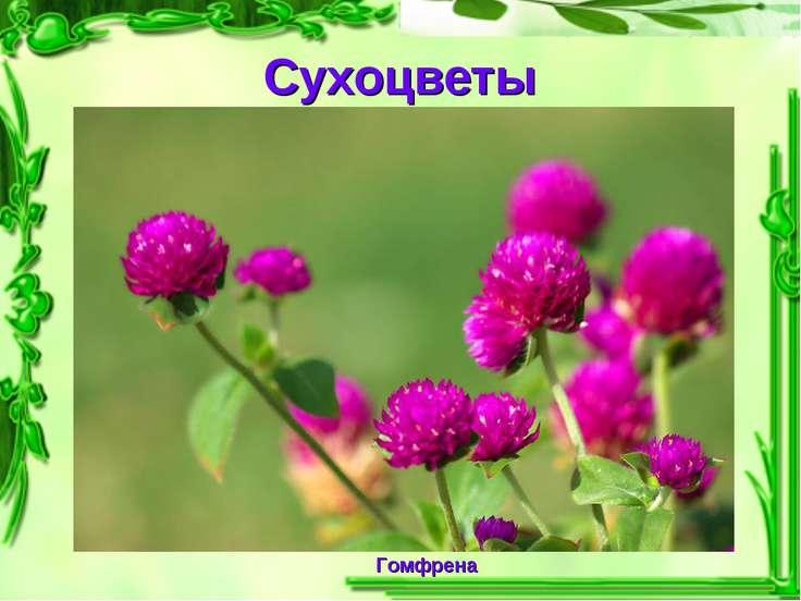 Сухоцветы Гомфрена