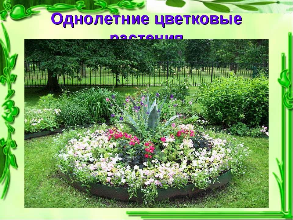 Однолетние цветковые растения