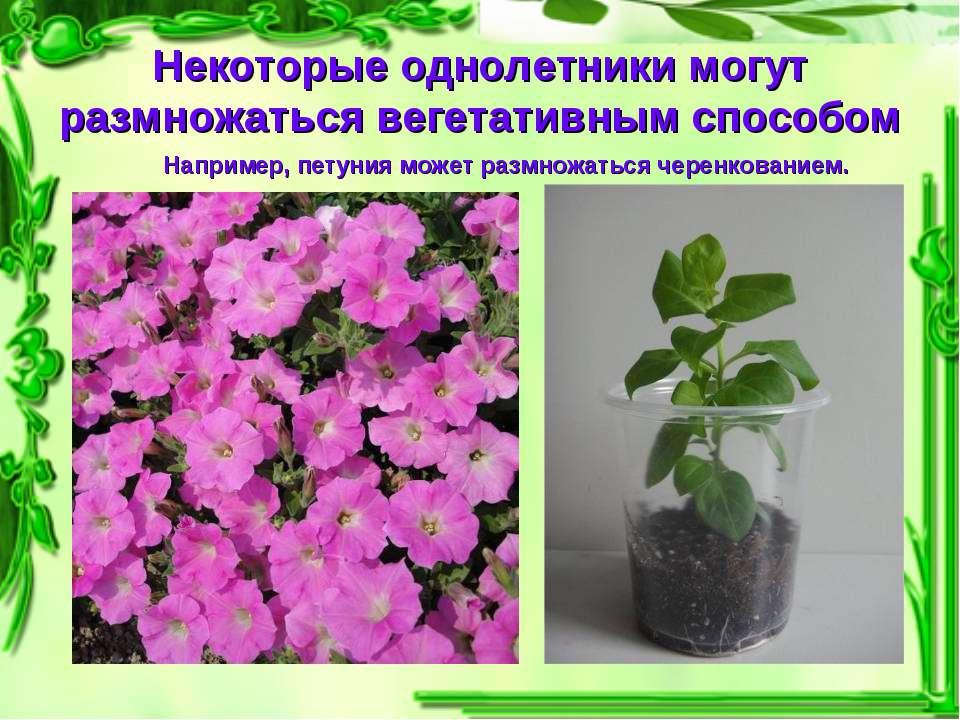 Некоторые однолетники могут размножаться вегетативным способом Например, пету...