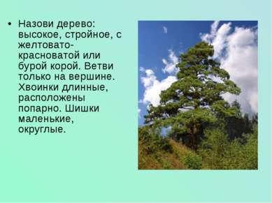 Назови дерево: высокое, стройное, с желтовато-красноватой или бурой корой. Ве...
