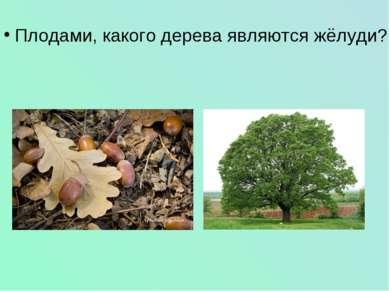 Плодами, какого дерева являются жёлуди?
