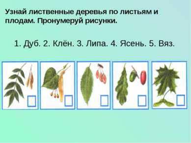 Узнай лиственные деревья по листьям и плодам. Пронумеруй рисунки. 1. Дуб. 2. ...