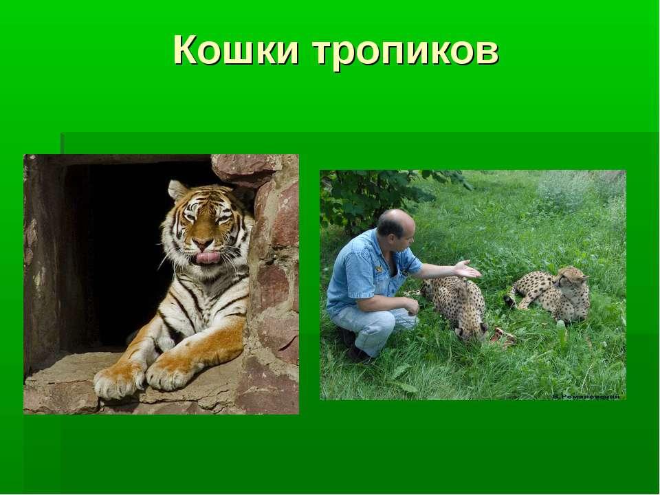 Кошки тропиков