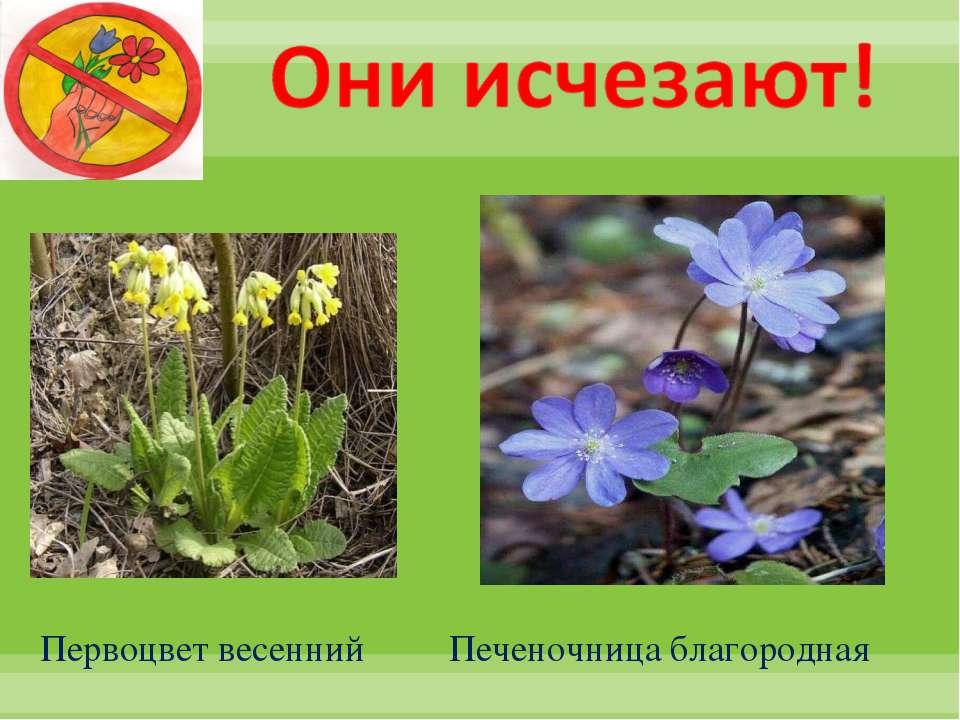 Первоцвет весенний Печеночница благородная