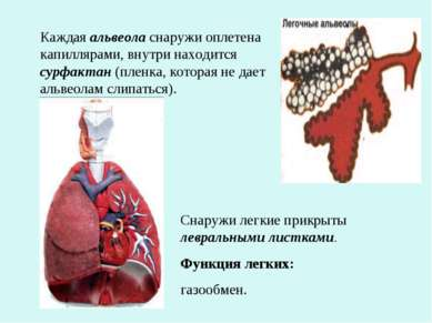 Каждая альвеола снаружи оплетена капиллярами, внутри находится сурфактан (пле...