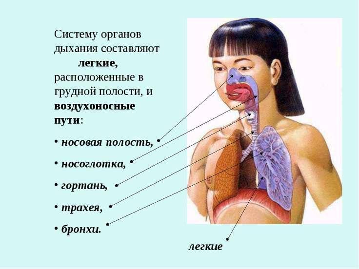 Систему органов дыхания составляют легкие, расположенные в грудной полости, и...