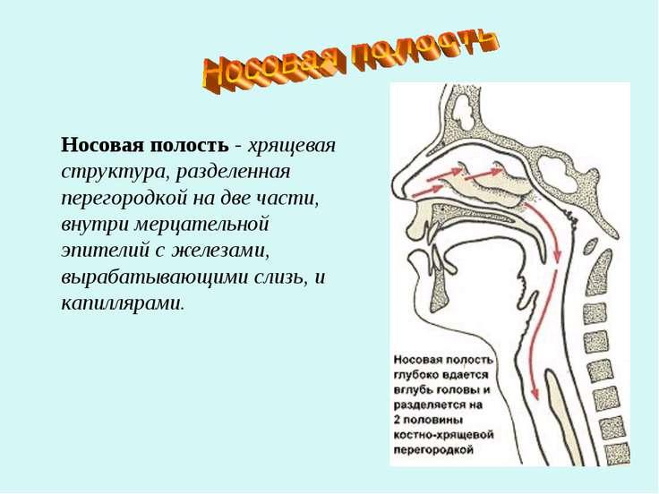 Носовая полость - хрящевая структура, разделенная перегородкой на две части, ...
