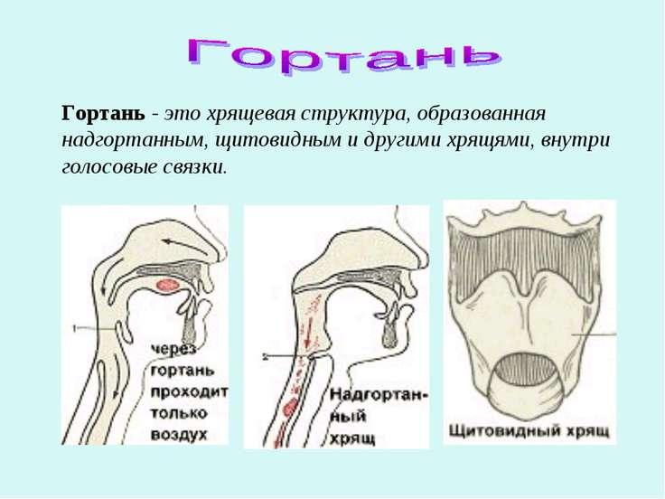 Гортань - это хрящевая структура, образованная надгортанным, щитовидным и дру...