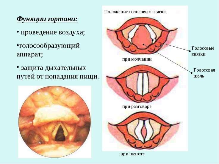 Функции гортани: проведение воздуха; голосообразующий аппарат; защита дыхател...