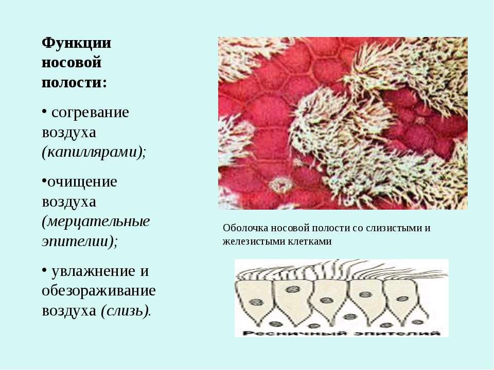 Функции носовой полости: согревание воздуха (капиллярами); очищение воздуха (...