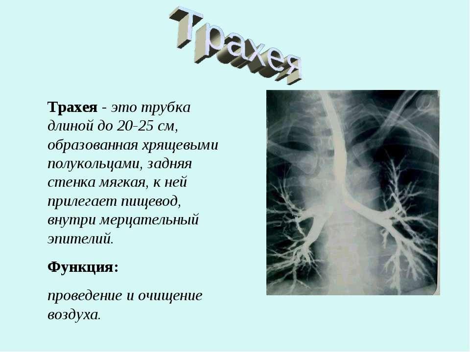 Трахея - это трубка длиной до 20-25 см, образованная хрящевыми полукольцами, ...