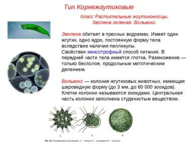 Класс Растительные жгутиконосцы. Эвглена зеленая. Вольвокс. Эвглена обитает в...