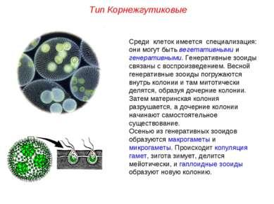 Среди клеток имеется специализация: они могут быть вегетативными и генеративн...