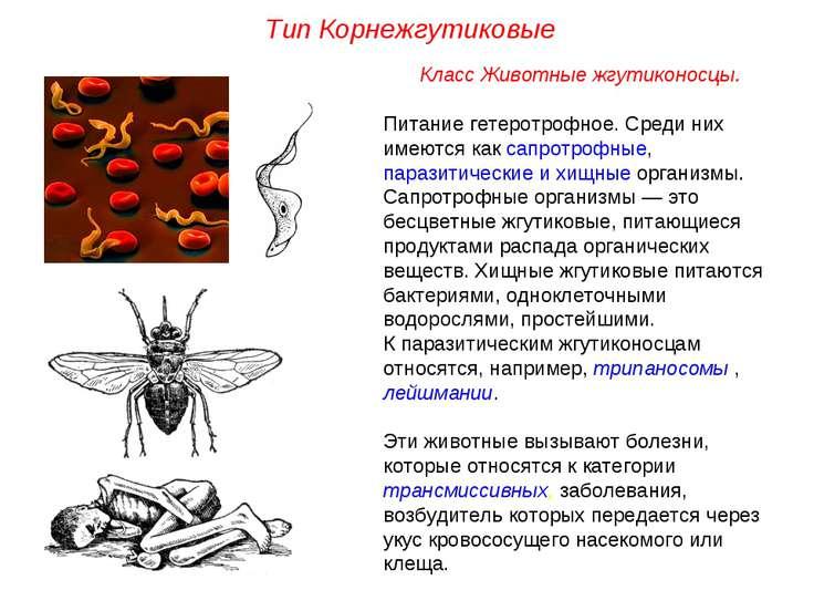 Класс Животные жгутиконосцы. Питание гетеротрофное. Среди них имеются как сап...