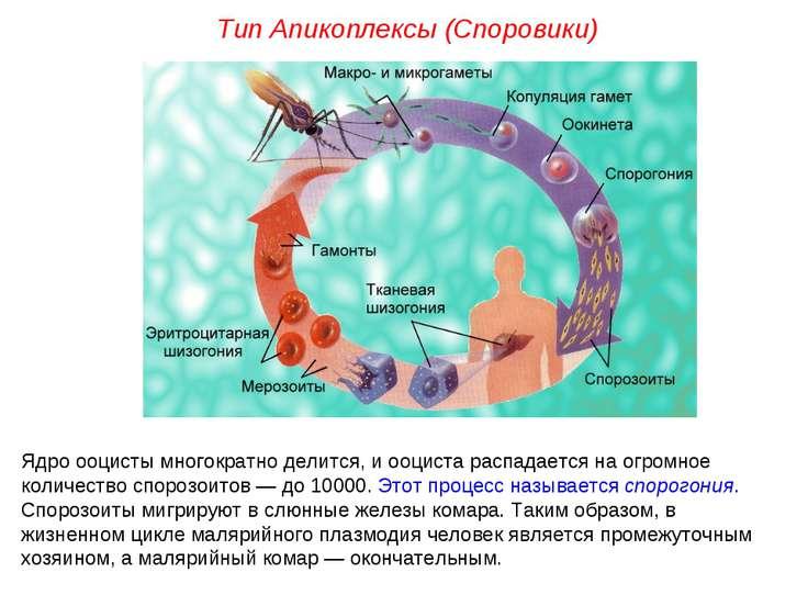 Ядро ооцисты многократно делится, и ооциста распадается на огромное количеств...