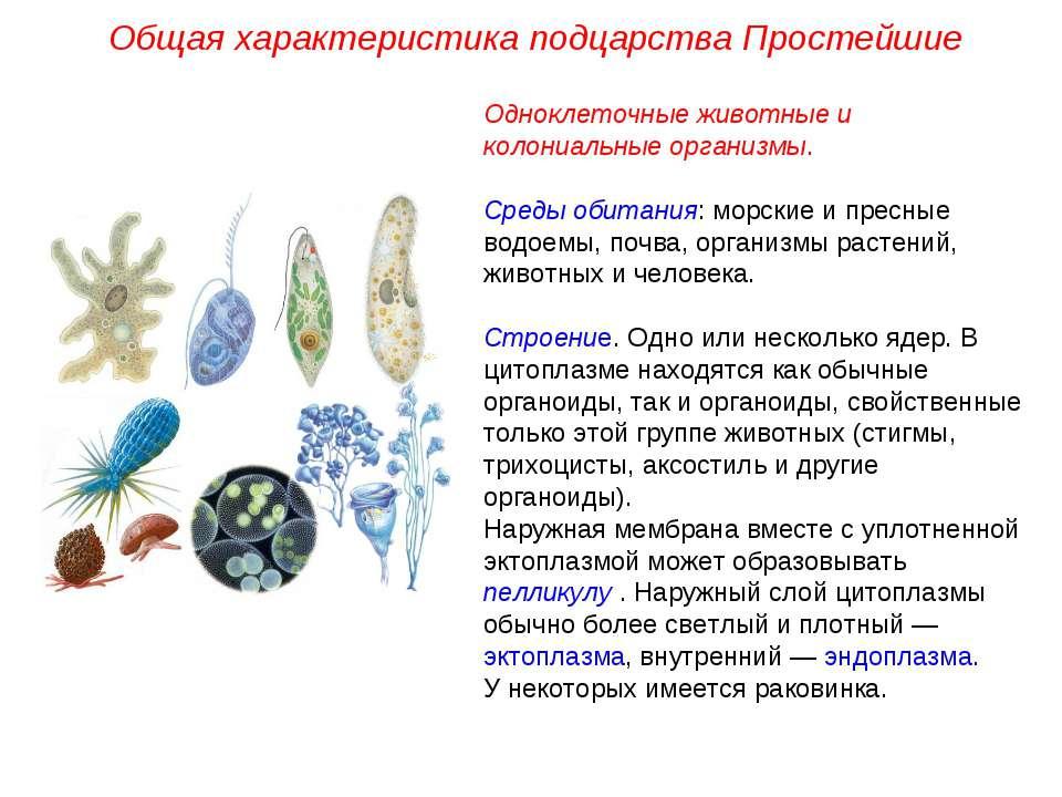 Общая характеристика подцарства Простейшие Одноклеточные животные и колониаль...