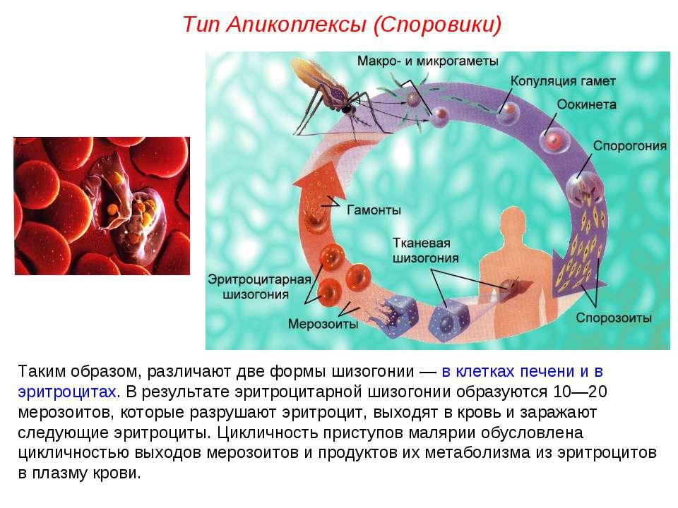 Таким образом, различают две формы шизогонии — в клетках печени и в эритроцит...