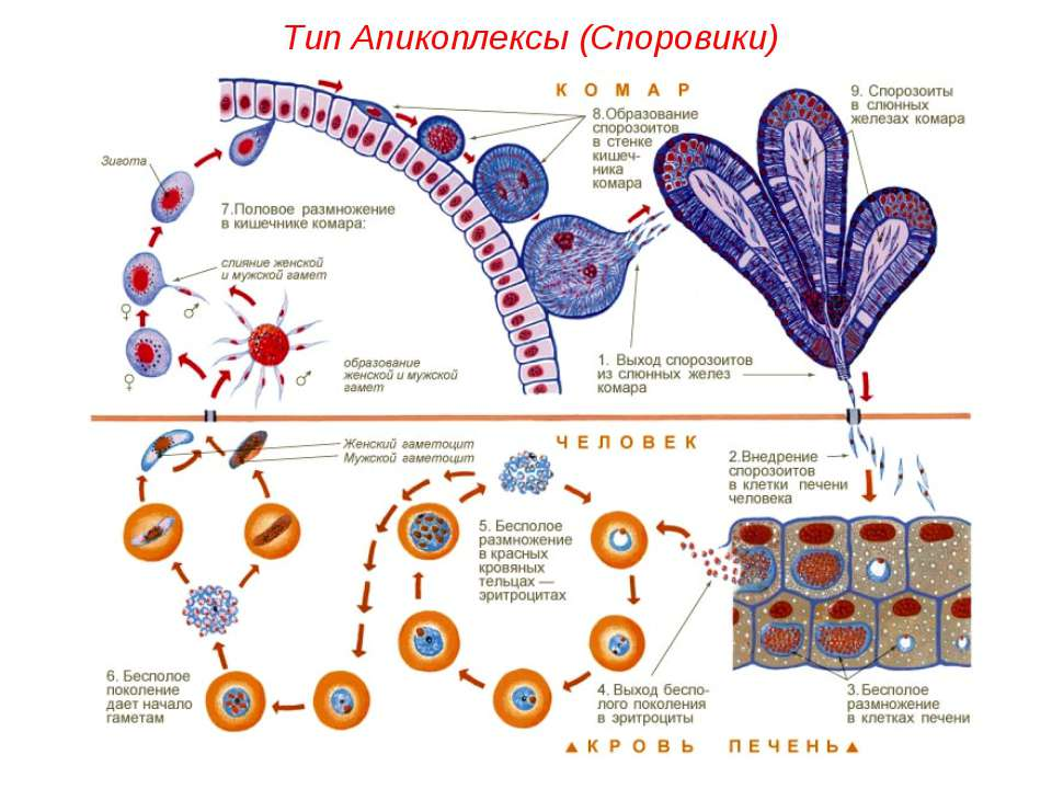 Тип Апикоплексы (Споровики)