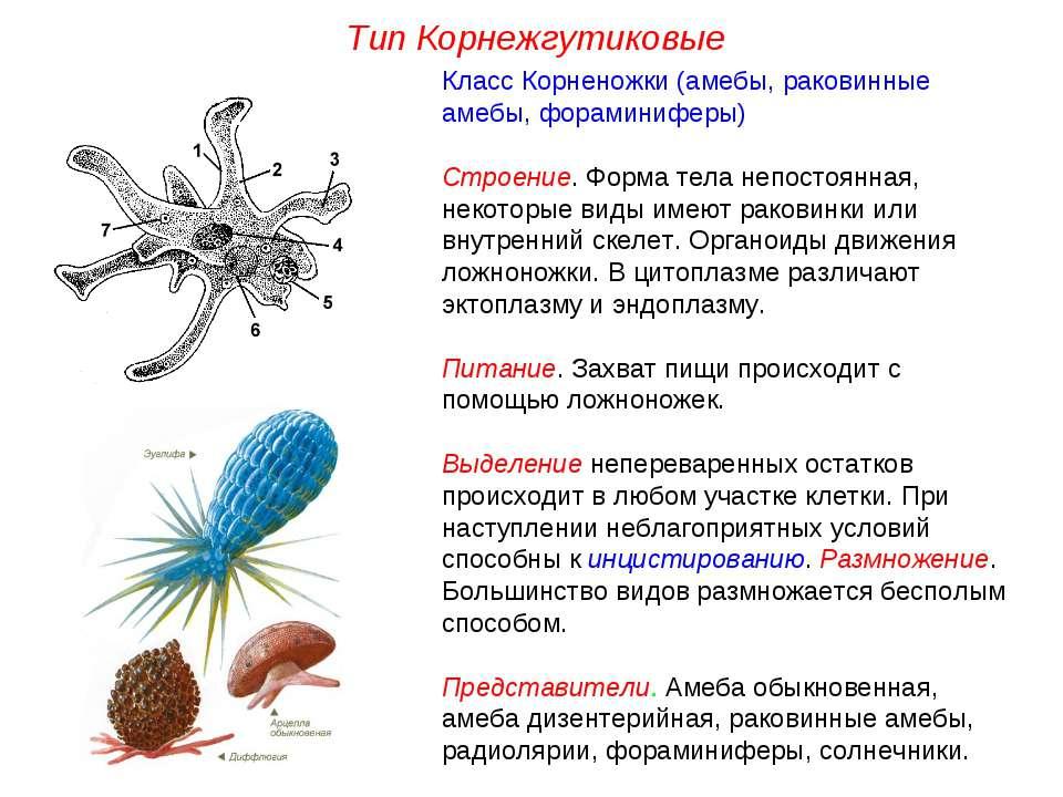 Класс Корненожки (амебы, раковинные амебы, фораминиферы) Строение. Форма тела...