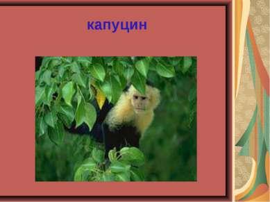 капуцин