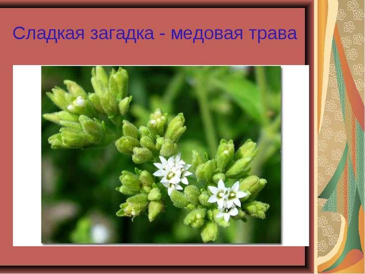 Сладкая загадка - медовая трава