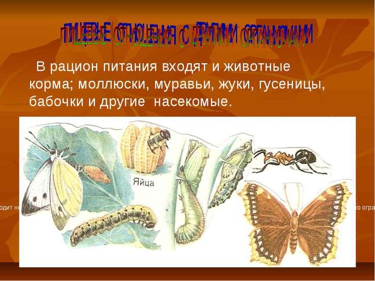 В рацион питания входят и животные корма; моллюски, муравьи, жуки, гусеницы, ...