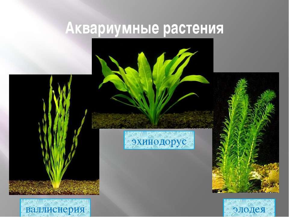Аквариумные растения элодея эхинодорус валлиснерия