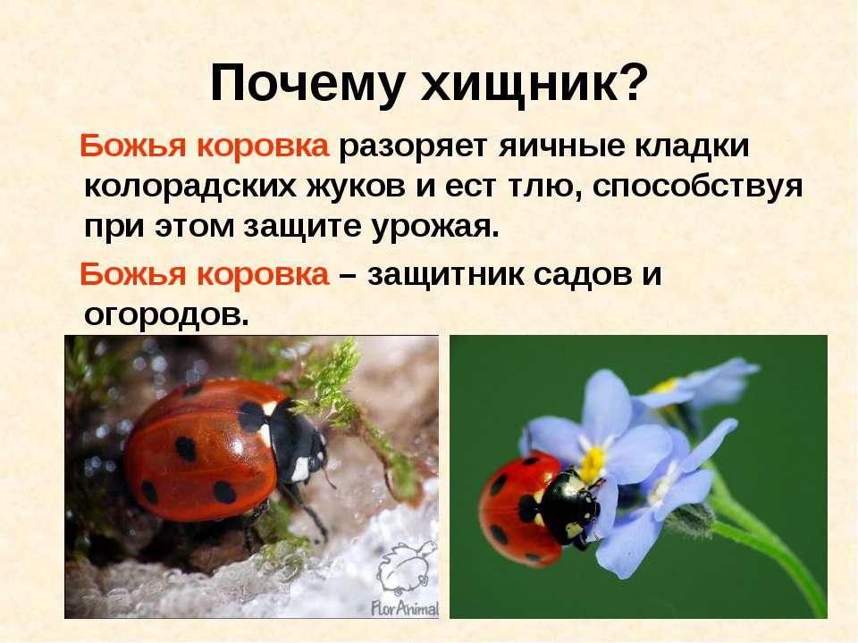 Почему хищник? Божья коровка разоряет яичные кладки колорадских жуков и ест т...