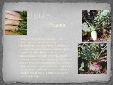 Редька. Овощные. РЕДЬКА (Raphanus), род одно- или двулетних растений семейств...