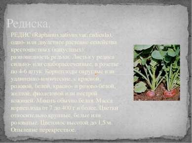 Редиска. РЕДИС (Raphanus sativus var. radicula), одно- или двулетнее растение...