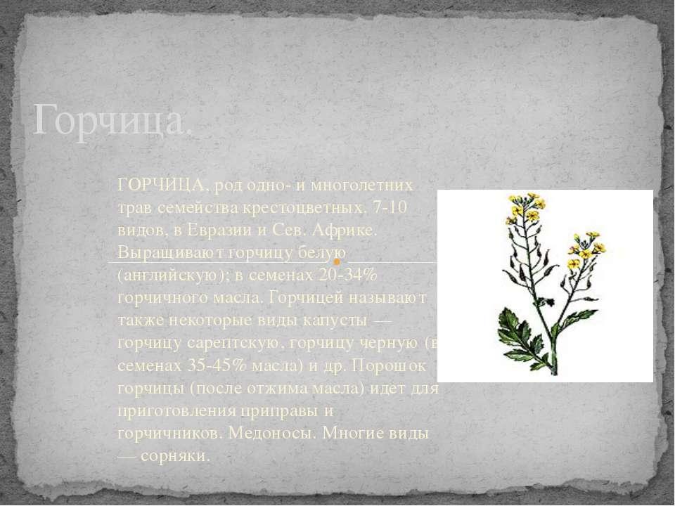 Горчица. ГОРЧИЦА, род одно- и многолетних трав семейства крестоцветных. 7-10 ...