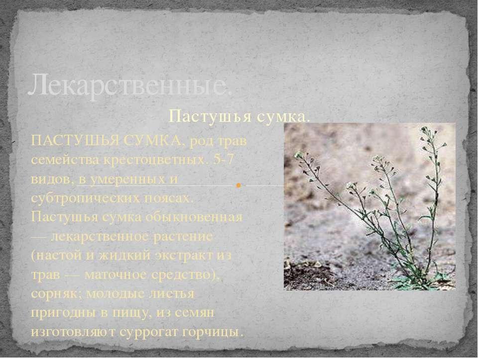 Пастушья сумка. Лекарственные. ПАСТУШЬЯ СУМКА, род трав семейства крестоцветн...