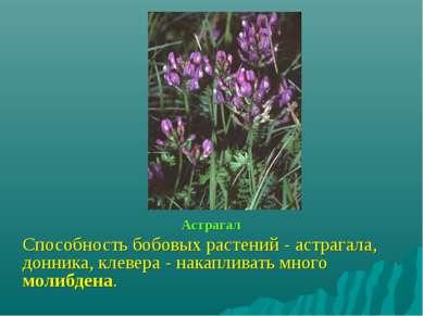 Астрагал Способность бобовых растений - астрагала, донника, клевера - накапли...