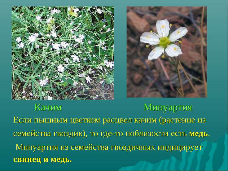 Если пышным цветком расцвел качим (растение из семейства гвоздик), то где-то ...