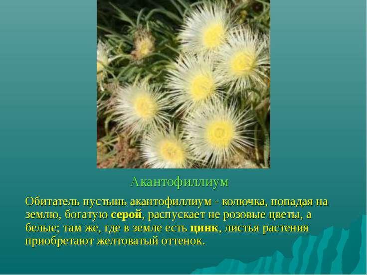Акантофиллиум Обитатель пустынь акантофиллиум - колючка, попадая на землю, бо...