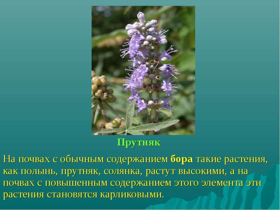 Прутняк На почвах с обычным содержанием бора такие растения, как полынь, прут...