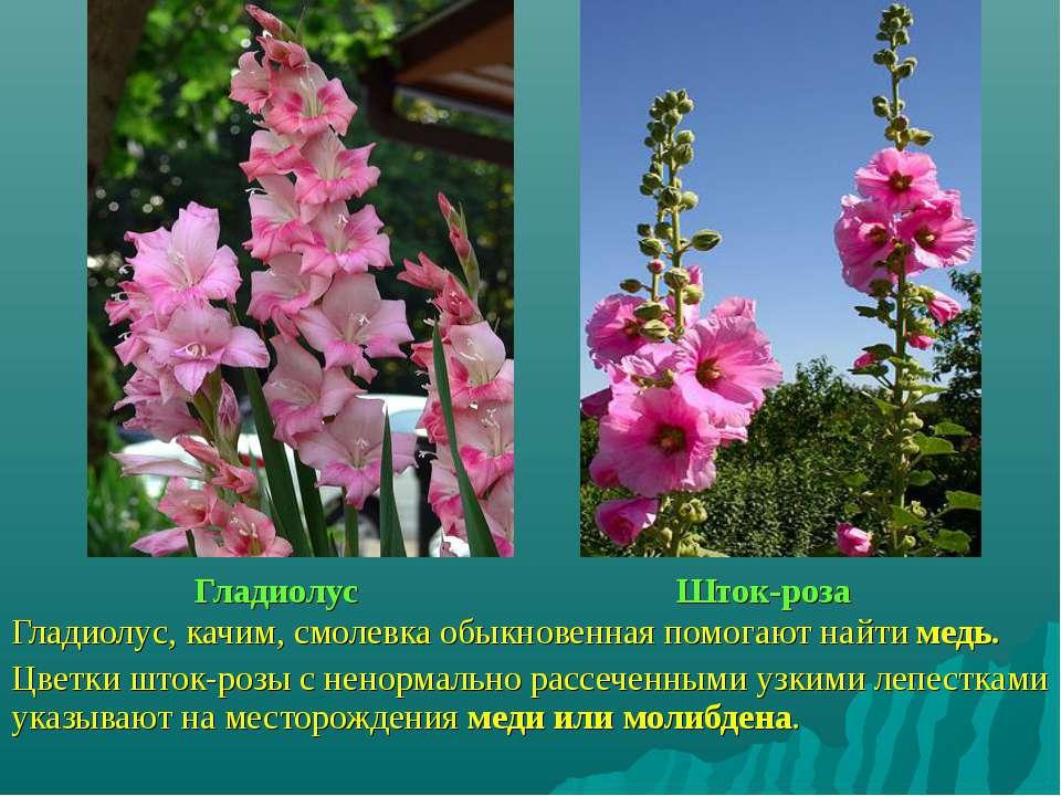 Гладиолус Шток-роза Гладиолус, качим, смолевка обыкновенная помогают найти ме...
