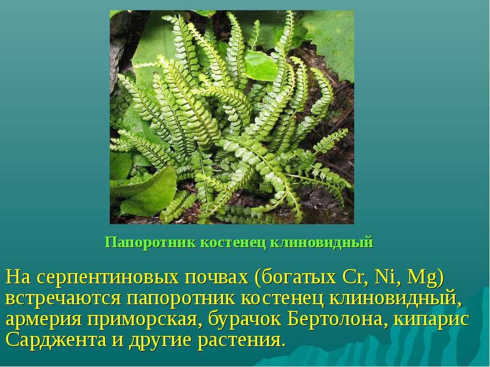 Папоротник костенец клиновидный На серпентиновых почвах (богатых Cr, Ni, Mg) ...