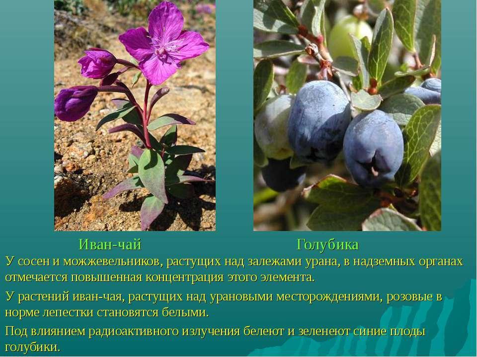 Иван-чай Голубика У сосен и можжевельников, растущих над залежами урана, в на...