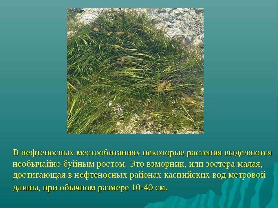 В нефтеносных местообитаниях некоторые растения выделяются необычайно буйным ...
