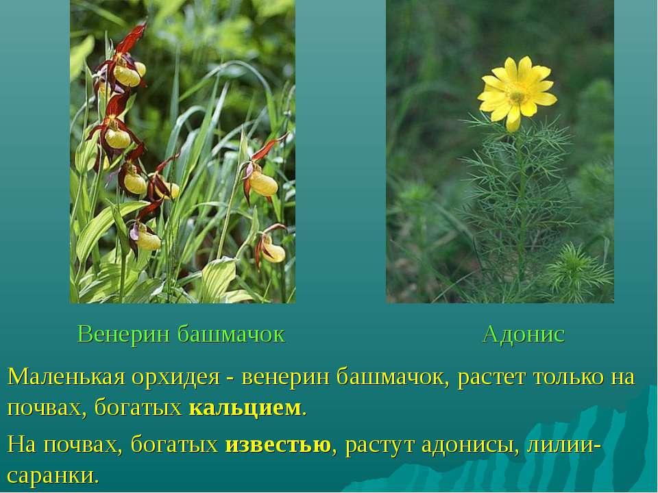 Венерин башмачок Адонис Маленькая орхидея - венерин башмачок, растет только н...