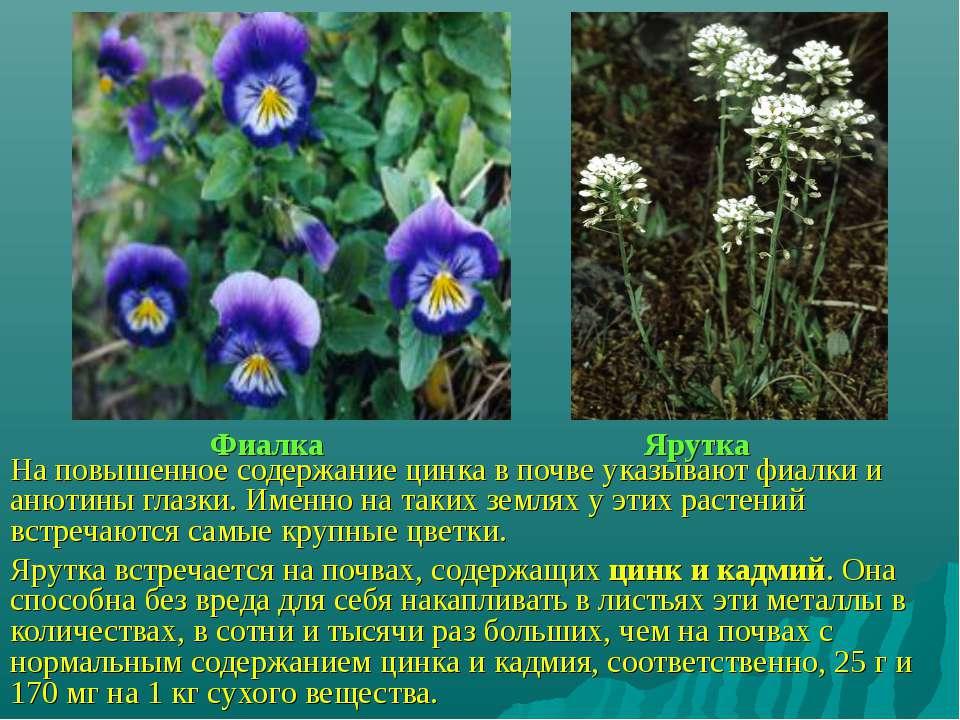 Фиалка Ярутка На повышенное содержание цинка в почве указывают фиалки и анюти...