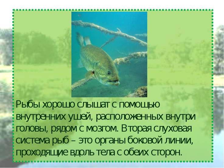 Рыбы хорошо слышат с помощью внутренних ушей, расположенных внутри головы, ря...