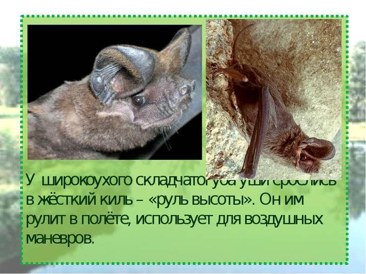 У широкоухого складчатогуба уши срослись в жёсткий киль – «руль высоты». Он и...