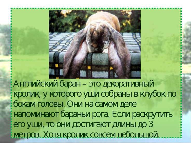 Английский баран – это декоративный кролик, у которого уши собраны в клубок п...