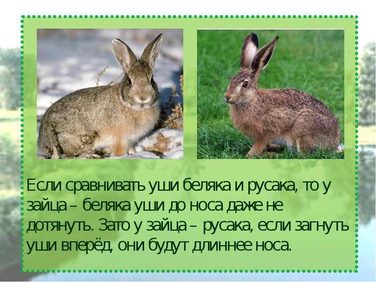 Если сравнивать уши беляка и русака, то у зайца – беляка уши до носа даже не ...