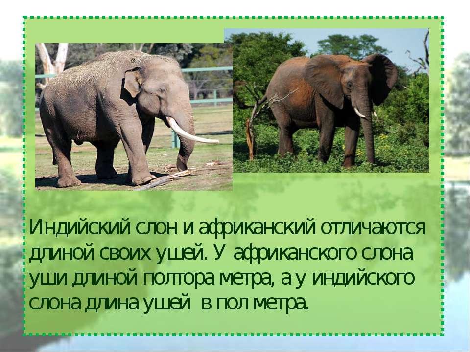 Индийский слон и африканский отличаются длиной своих ушей. У африканского сло...