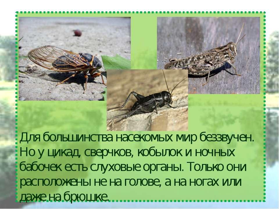 Для большинства насекомых мир беззвучен. Но у цикад, сверчков, кобылок и ночн...