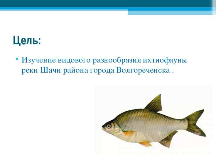 Цель: Изучение видового разнообразия ихтиофауны реки Шачи района города Волго...