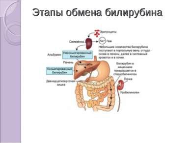 Этапы обмена билирубина
